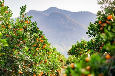 【台風19号規格外地域生産者応援の品】特別栽培農産物 温州みかん5kg