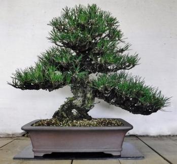 緑の芸術盆栽(中型サイズ)