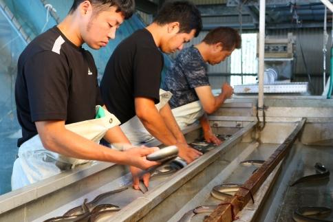 【数量限定】泰正オーガニック(横山さんの鰻)~生産者直送~特特大2尾(400g)以上
