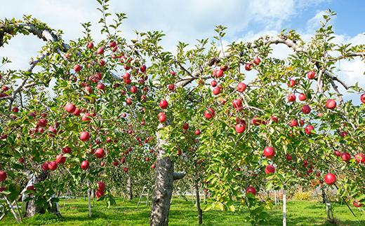津軽限定りんごを使用したこだわりのアップルパイ