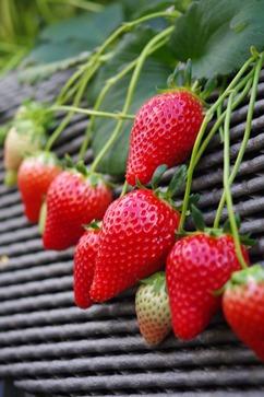 とろける甘さ!澳原いちご農園の完熟朝摘みスカイベリーデラックス(400g×2パック)
