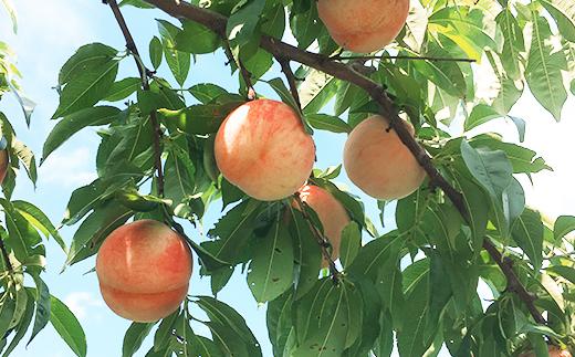 フルーツ王国余市産「桃」12玉~18玉3kg【山本観光果樹園】