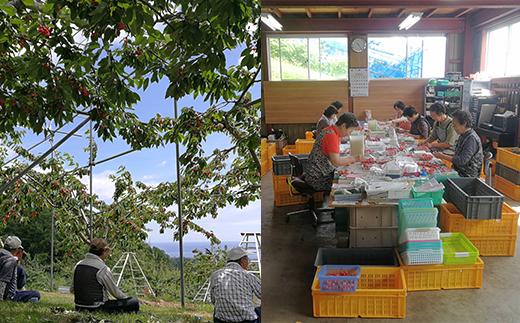 余市の砂川果樹園が贈る、もぎたて直送さくらんぼ【佐藤錦】1kgバラ詰