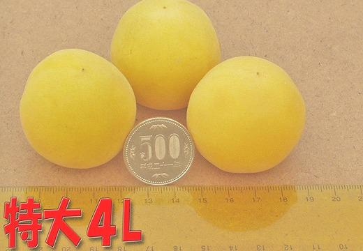 <2021年6月中下旬頃発送>【梅干・梅酒用】熟南高梅(4L-2㎏)★県認定エコファーマー