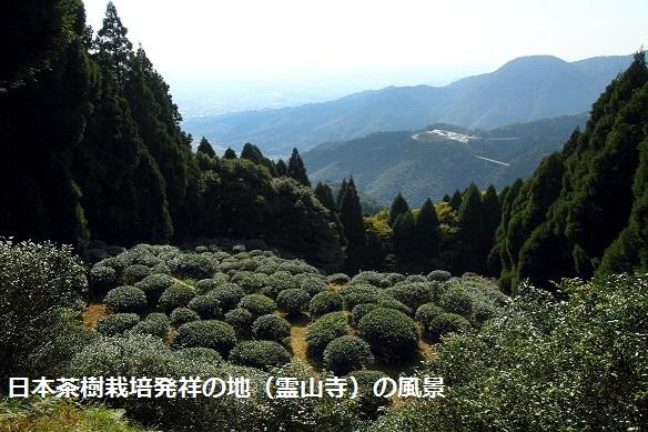 """""""""""日本最初の茶樹栽培地""""で生まれた銘茶「栄西茶」(茶葉)"""