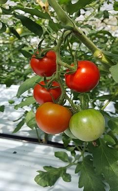 トマトセレクト1kg