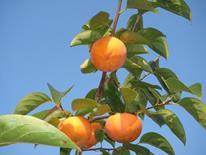 太陽の光をたっぷり浴びた松岡農園の富有柿赤秀3L12個