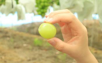 片木さんちのシャインマスカット2kg