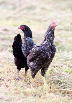 綾部で飼育される軍鶏と無添加ダシの本物鍋