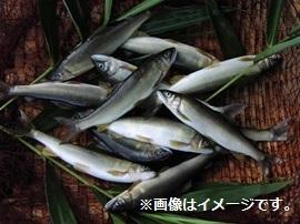 高津川天然あゆ 冷凍 500g