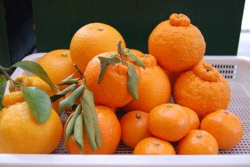 紀州みかんのソムリエセレクト(甘さの違う旬の柑橘食べ比べセット)
