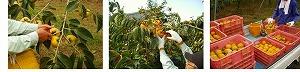 【県認定エコファーマーからの贈り物】採れたてタネなし柿 Lサイズ