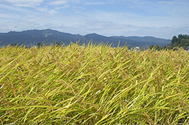 【頒布会】南魚沼産コシヒカリ梅蛍減農薬米10㎏×全12回