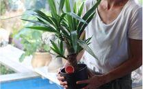 植物のある暮らし観葉植物「テーブルプランツ」<LotusGarden>