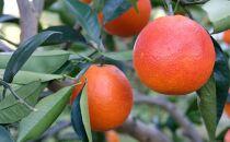 ☆先行予約☆【希少・高級柑橘】国産濃厚ブラッドオレンジ「タロッコ種」約3kg【2022年4月中旬より発送】