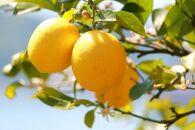 ☆先行予約☆【産直】和歌山産レモン約3kg(サイズ混合)【2022年3月上旬より発送】