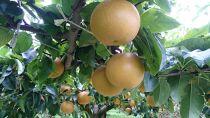 【2021年8月上旬より順次発送】ことのみや果樹園の梨5kg【幸水】