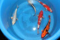 錦鯉MIX(約35~40㎝)5尾セット
