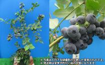 実付き鉢植えブルーベリー接ぎ木苗6号鉢