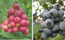 実付き鉢植えブルーベリー【ピンクレモネード+ラビットアイ系品種2本寄せ植え】7号鉢
