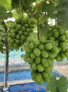 家庭用 旬の葡萄2個セット シャインマスカットと黒系葡萄1.2kg以上