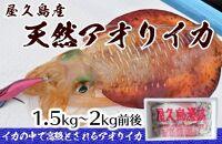 屋久島産天然アオリイカ1.5kg~2kg前後