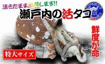 瀬戸内海産水揚げされたばかりのジャンボ活大タコ
