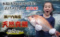 【ギフト用】[下処理あり]≪瀬戸内海産≫朝1番水揚げされた天然真鯛を直送致します。[特大サイズ]