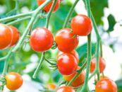 ミニトマト400gと中玉トマト600gセット~キャロルクイーンとフルティカ~