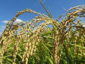 令和2年産和歌山県キヌヒカリ10kg農家直送