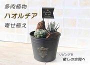 ★品切れ★多肉植物ハオルチア寄せ植え 1鉢