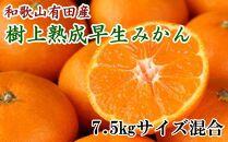 紀州有田産早生みかんの樹上熟成みかん7.5kg(サイズ混合・秀品)
