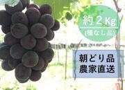 【農家直送(収穫日に発送)】種無し巨峰 約2kg(3~4房) 生産農園:後藤ぶどう園