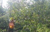 自然栽培 新鮮レモン 2.5㎏(18~25個程度)