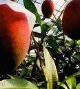 先行受付!【2021年夏発送】NO.1アップルマンゴー!1kg箱(2玉)
