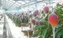 【贈答用】土佐おとめマンゴー(完熟アップルマンゴー)厳選品2~3個約700g~800g