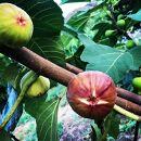 【尾道特産・秋の味覚!しまのいちぢく】瀬戸内・因島の蓬莱柿(ほうらいし)