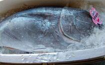 冷凍本マグロ赤身冊1.2kg