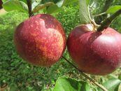 【地域の生産者応援の品(訳あり)】程が過ぎる寒さにも負けず育った盛岡りんご!(5kg)