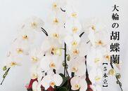 胡蝶蘭大輪白(5本立)【お祝い/開店祝い/就任祝い】