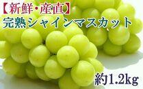 [新鮮・産直]和歌山かつらぎ町産の完熟シャインマスカット約1.2kg