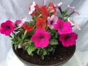 伊川谷町産「花農家による寄せ植え鉢」(約7~8号サイズ)