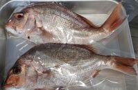「篠島活〆の1本釣り真鯛」天然真鯛セット