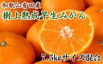 ☆先行予約☆紀州有田産早生みかんの樹上熟成みかん7.5kg(サイズ混合・秀品)【2022年1月中旬より発送】