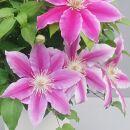 品種おまかせピンク系クレマチス5寸※母の日ギフト向け5月出荷