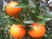 《家庭用》農家直送 奄美大島産たんかん良品L、2Lサイズ(約4kg)