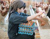 【蓮ヶ峯農場】京都奥丹波 純国産鶏もみじの平飼いたまご 50個