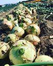 淡路島の農家の嫁から直送「完熟新玉ねぎ早生5㎏」