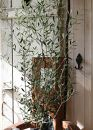 愛の木「オリーブ」を育てる