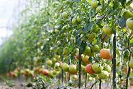 甘美!ファームフジタの高糖度フルーツトマト